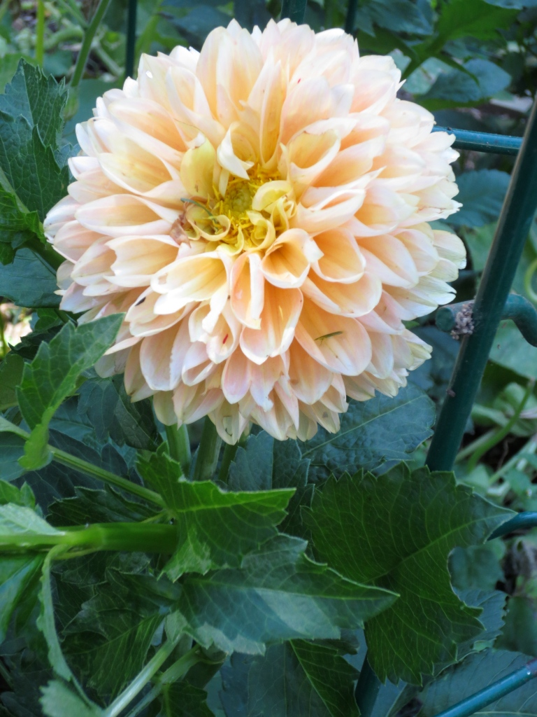 This is the warmest November ever, and hope the dahlias will make it to next week for the table.