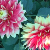 October Edition- Pumpkins & Dahlias